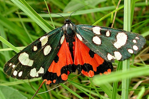Scarlet tiger moth Wikimedia Commons