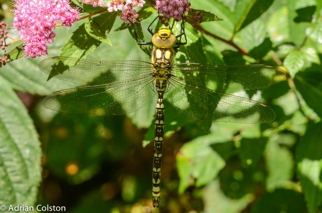 Southern Hawker 1