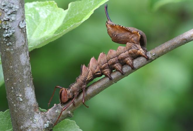 Stauropus_fagi_larva