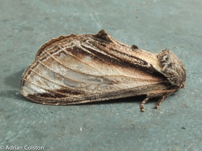 Swallow Prominent 1