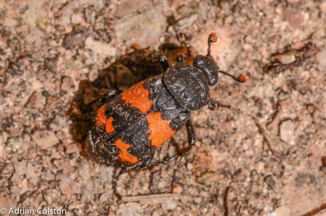 Nicrophorus species