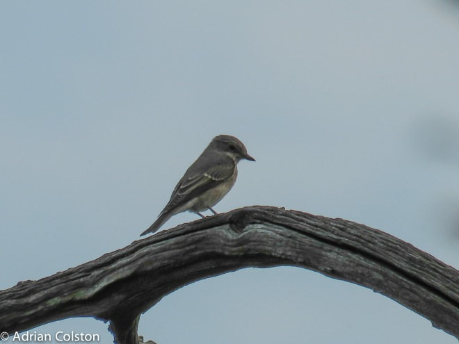 Spotted Flycatcher 1