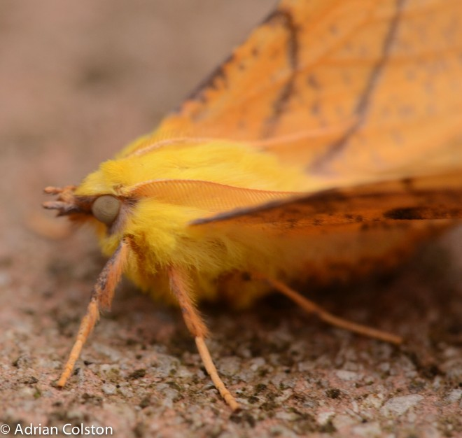 canary-shouldered-thorn