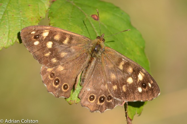 speckled-wood-2