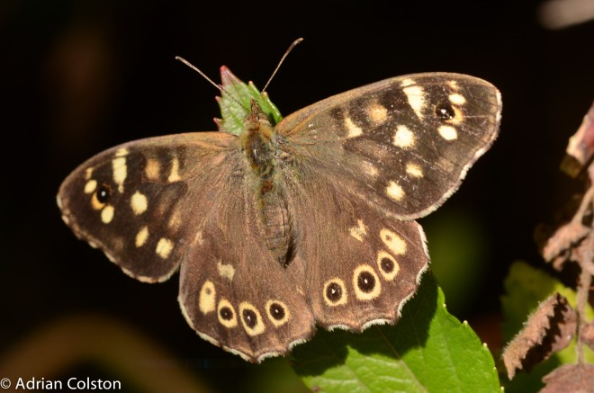 speckled-wood-3