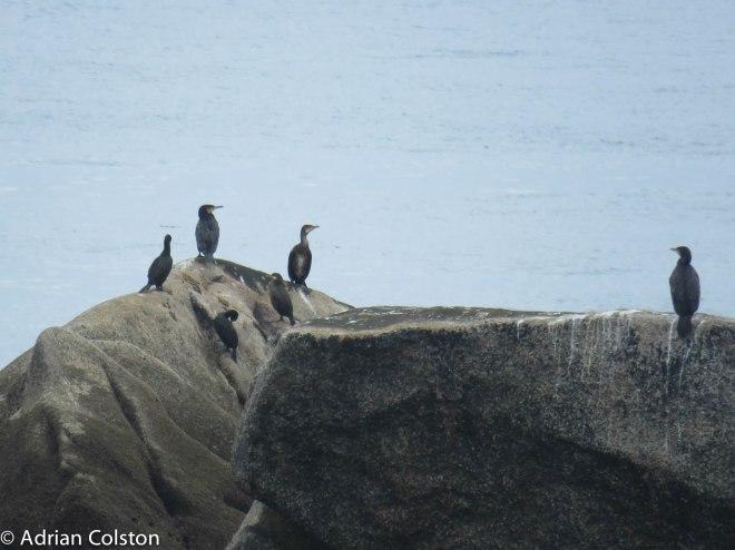 3-cormorants-3-shag