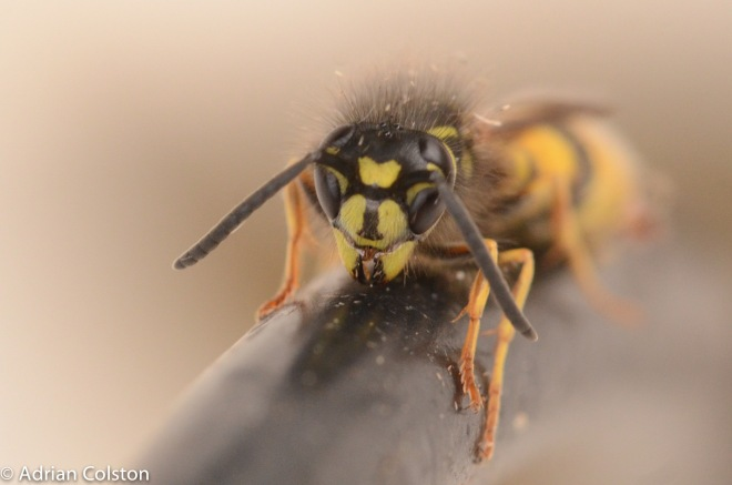 common-wasp-2