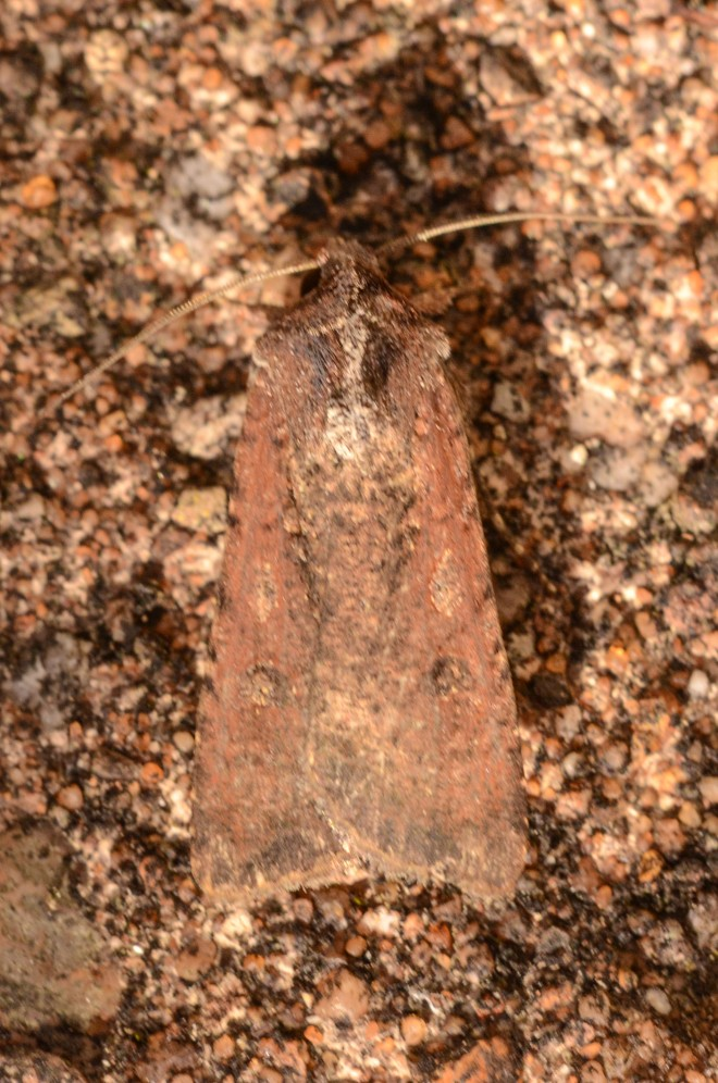 pearly-underwing