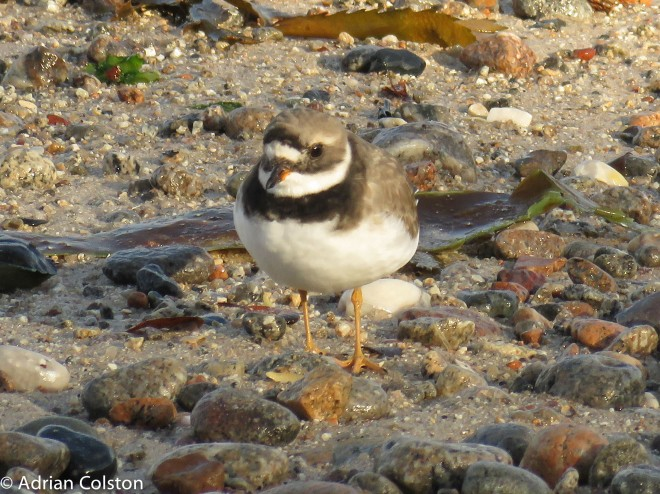 ringed-plover-2