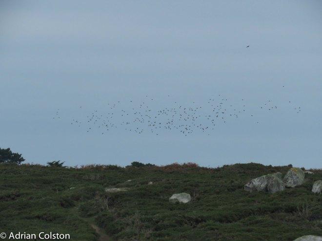 starling-flock
