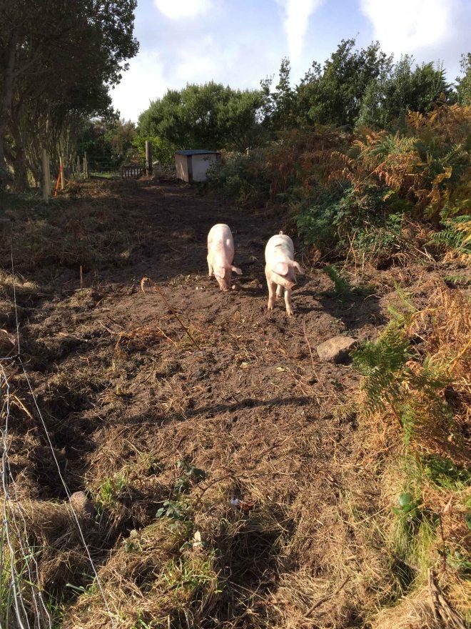 agnes-pigs