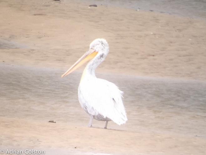 dalmatian-pelican-3