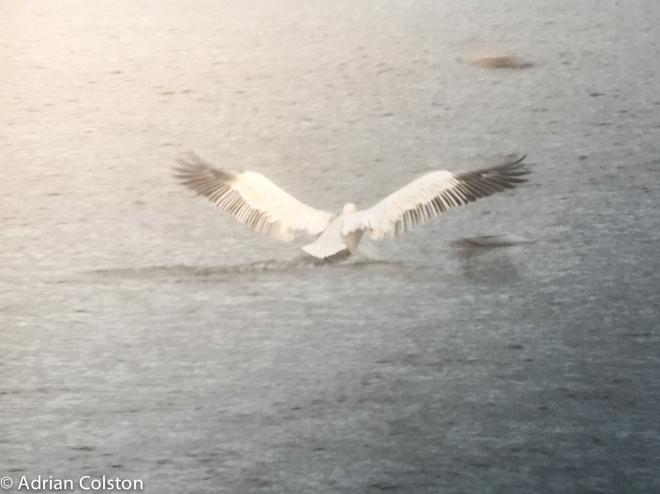 dalmatian-pelican-4