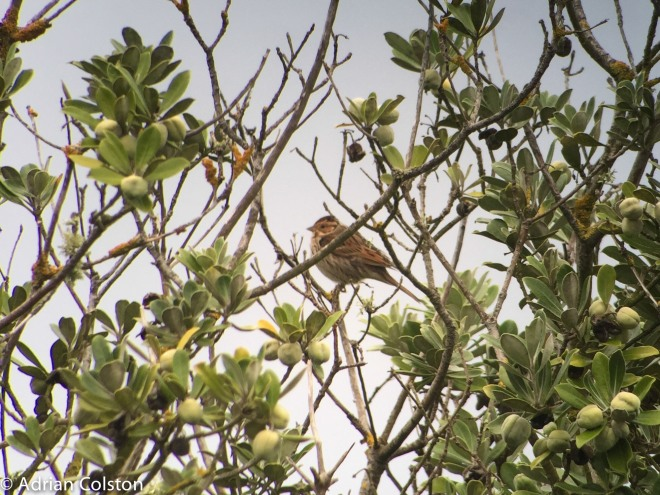 little-bunting