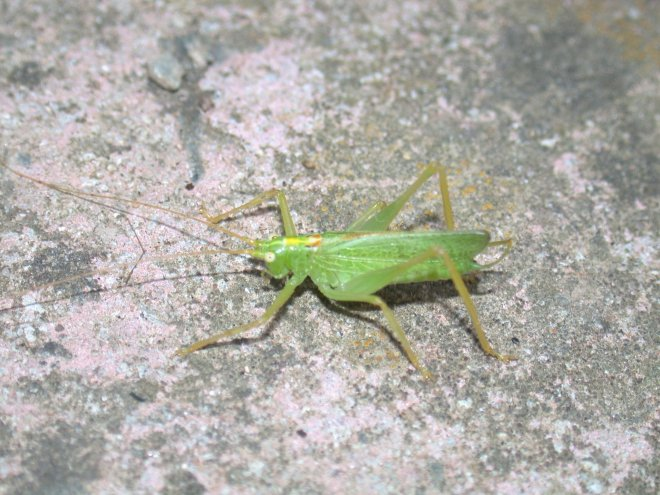 oak-bush-cricket