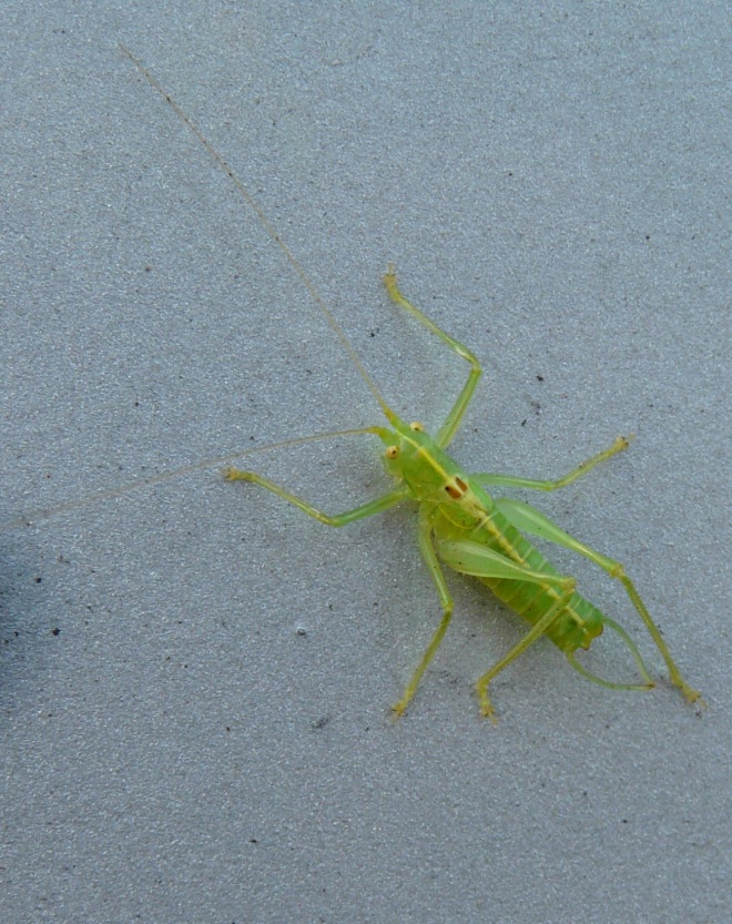 southern-oak-bush-cricket