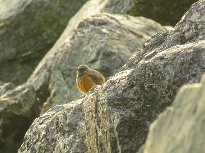 eastern-black-redstart-1