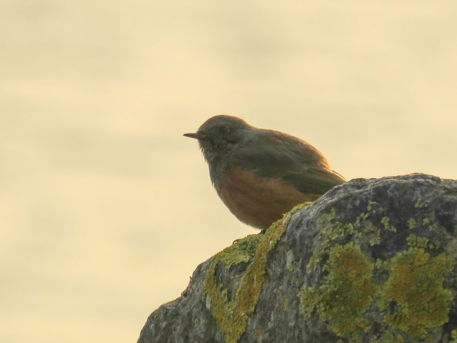 eastern-black-redstart-2
