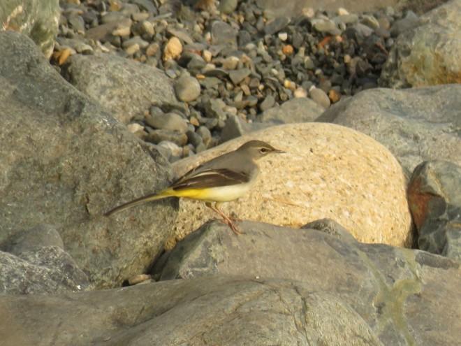 grey-wagtail