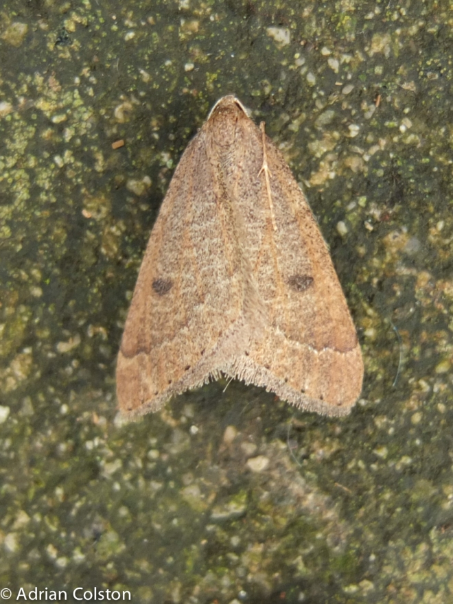 early-moth