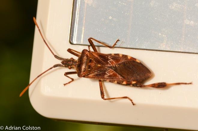 western-conifer-seed-bug-2